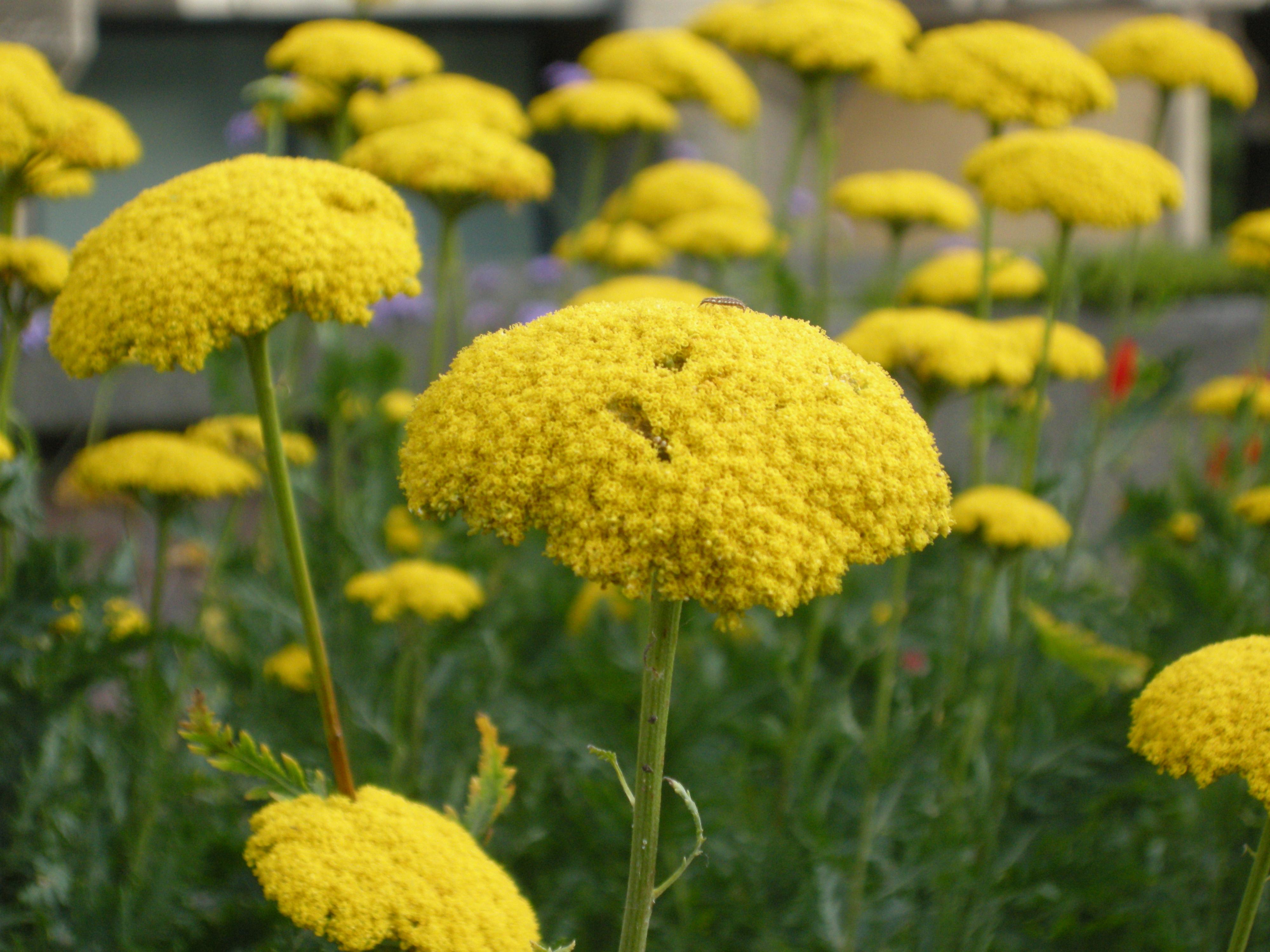 yarrow flower - photo #42