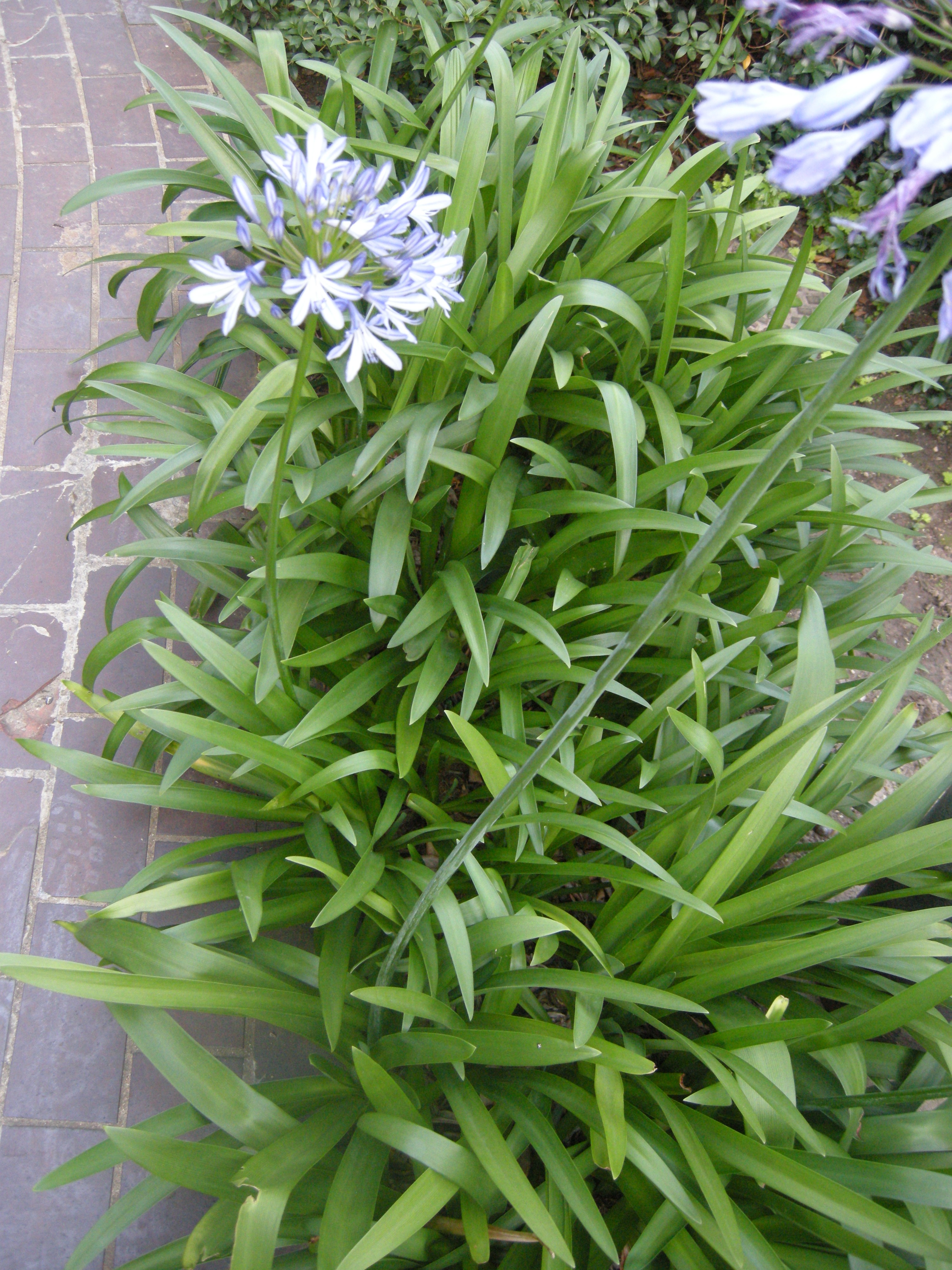 agapanthus africanus how to grow