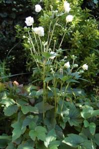 Anemone × hybrida 'Honorine Jobert' (06/08/2011, London)