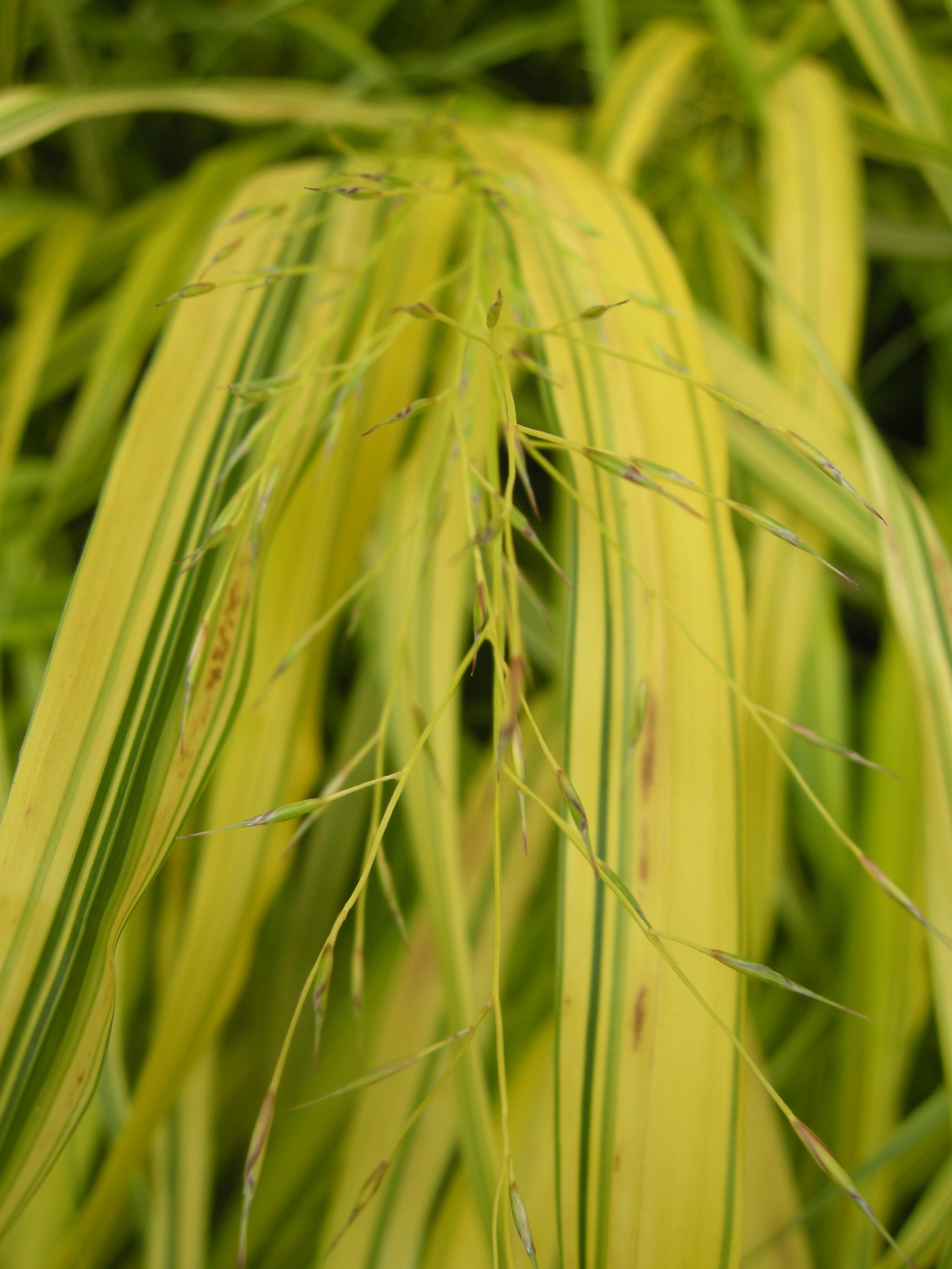 Hakonechloa macra 'Aureola' seed (15/08/2011, London)
