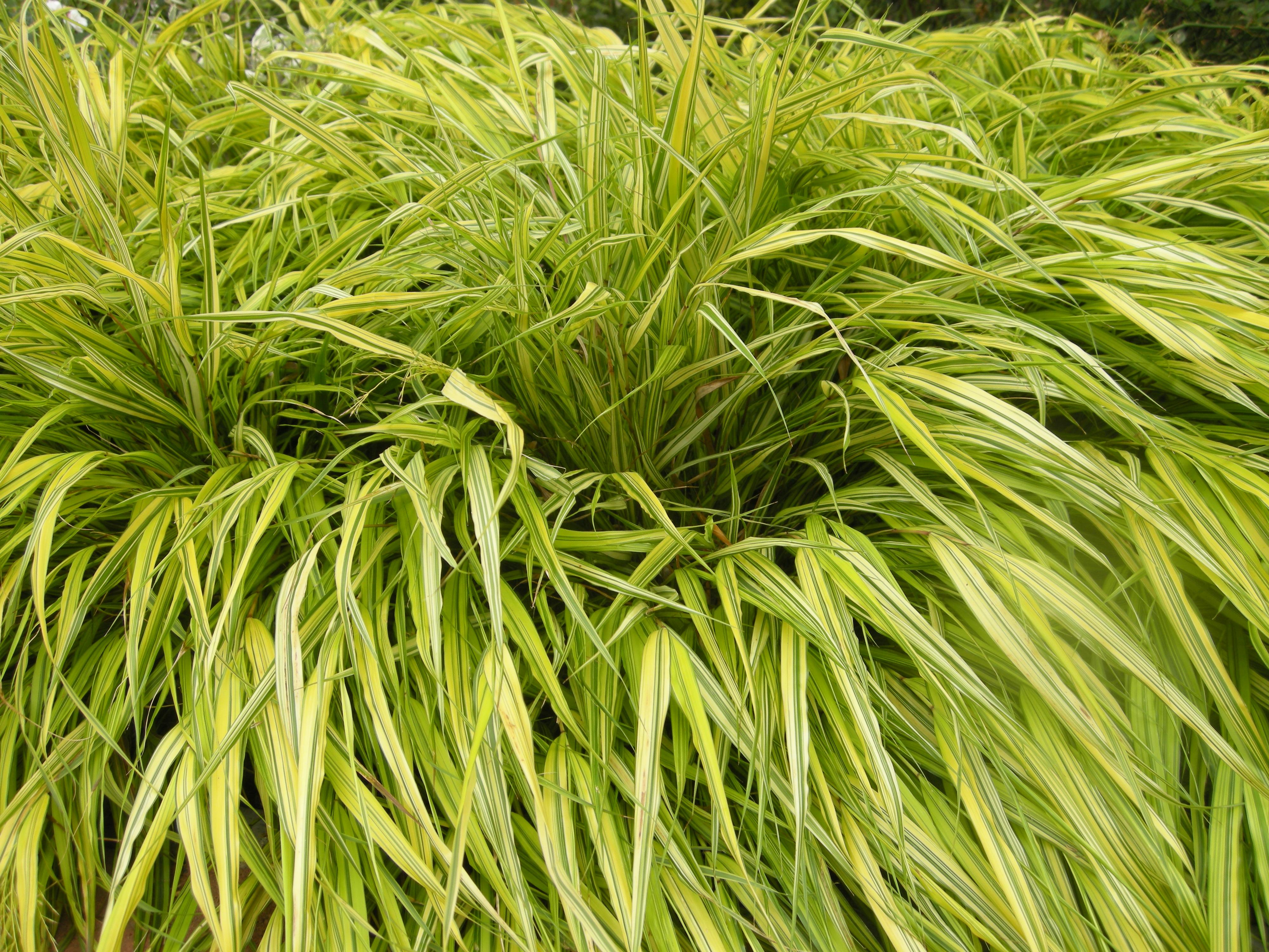 Hakonechloa macra 39 aureola 15 08 2011 london for Japanese ornamental grass