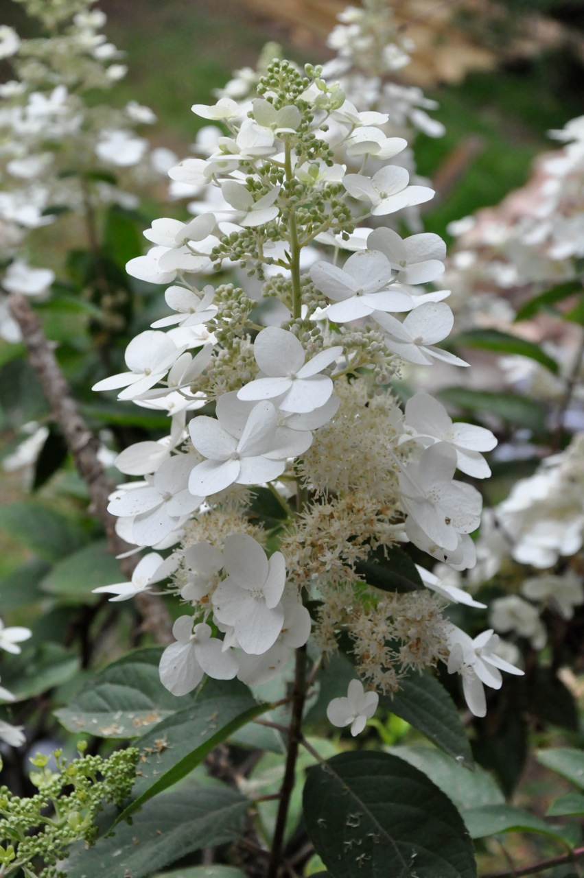hydrangea paniculata grandiflora landscape architect 39 s. Black Bedroom Furniture Sets. Home Design Ideas