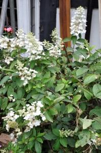 Hydrangea paniculata 'Grandiflora' (27/07/2011, London)