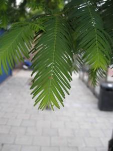 Metasequoia glyptostroboides leaf (13/08/2011,London)