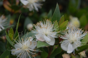 Commonmyrtle Flowers on Plant Of The Week  Myrtus Communis   Landscape Architecture Blog