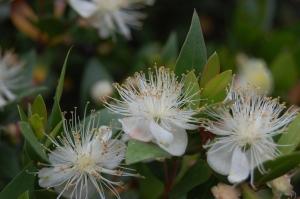 Commonmyrtle Flowers on Plant Of The Week  Myrtus Communis   Landscape Architecture Blog