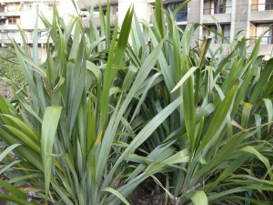 Phormium tenax (24/07/2011, Barbican London)