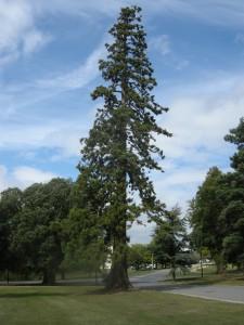 Sequoiadendron giganteum (16/08/2011, Cambridge)