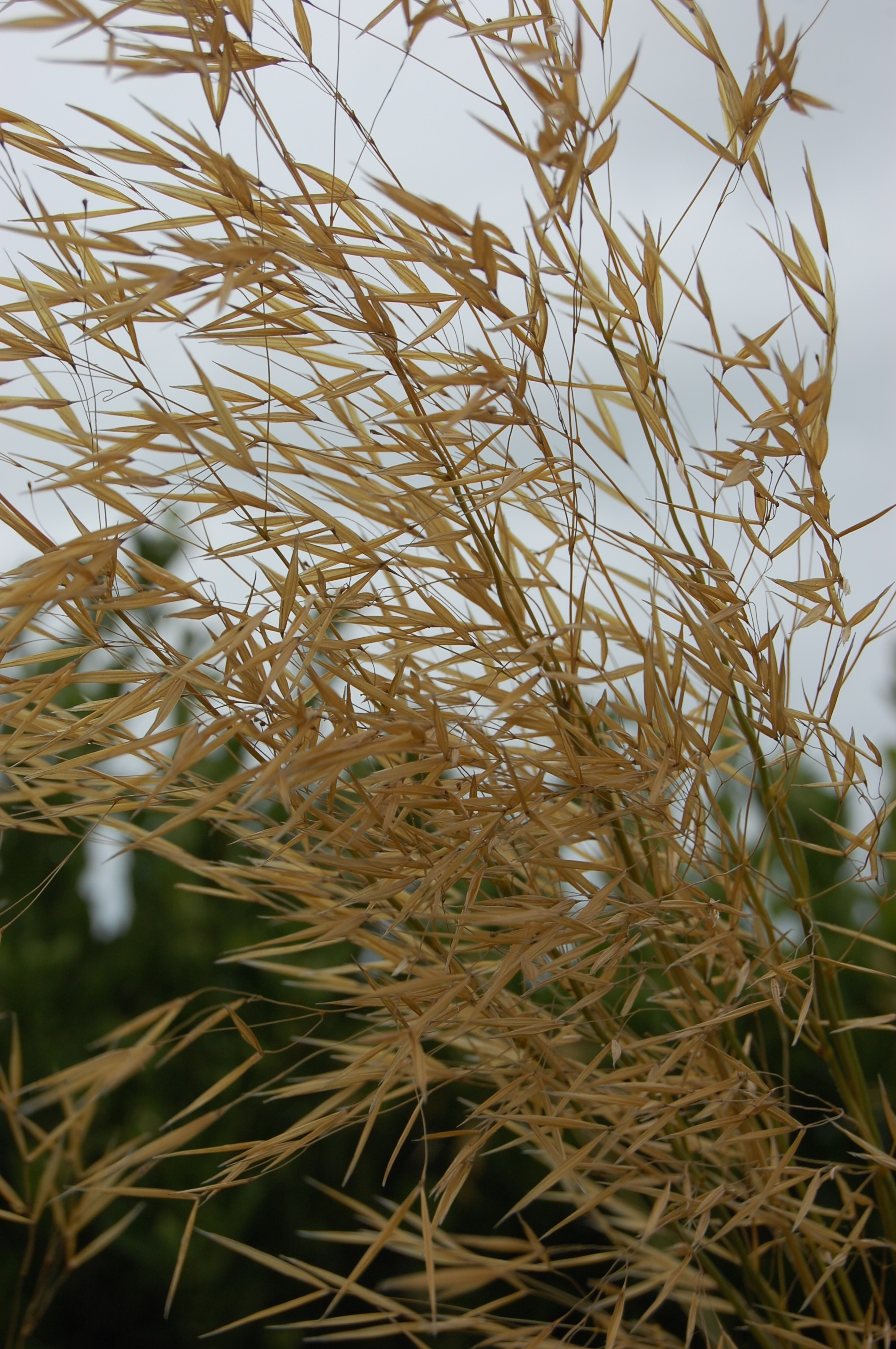Stipa Gigantea Landscape Architect S Pages