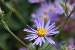 Aster macrophyllus 'Twilight' flower (17/09/2011, London)