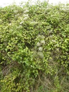 Clematis vitalba (13/09/2011, Southend On Sea)