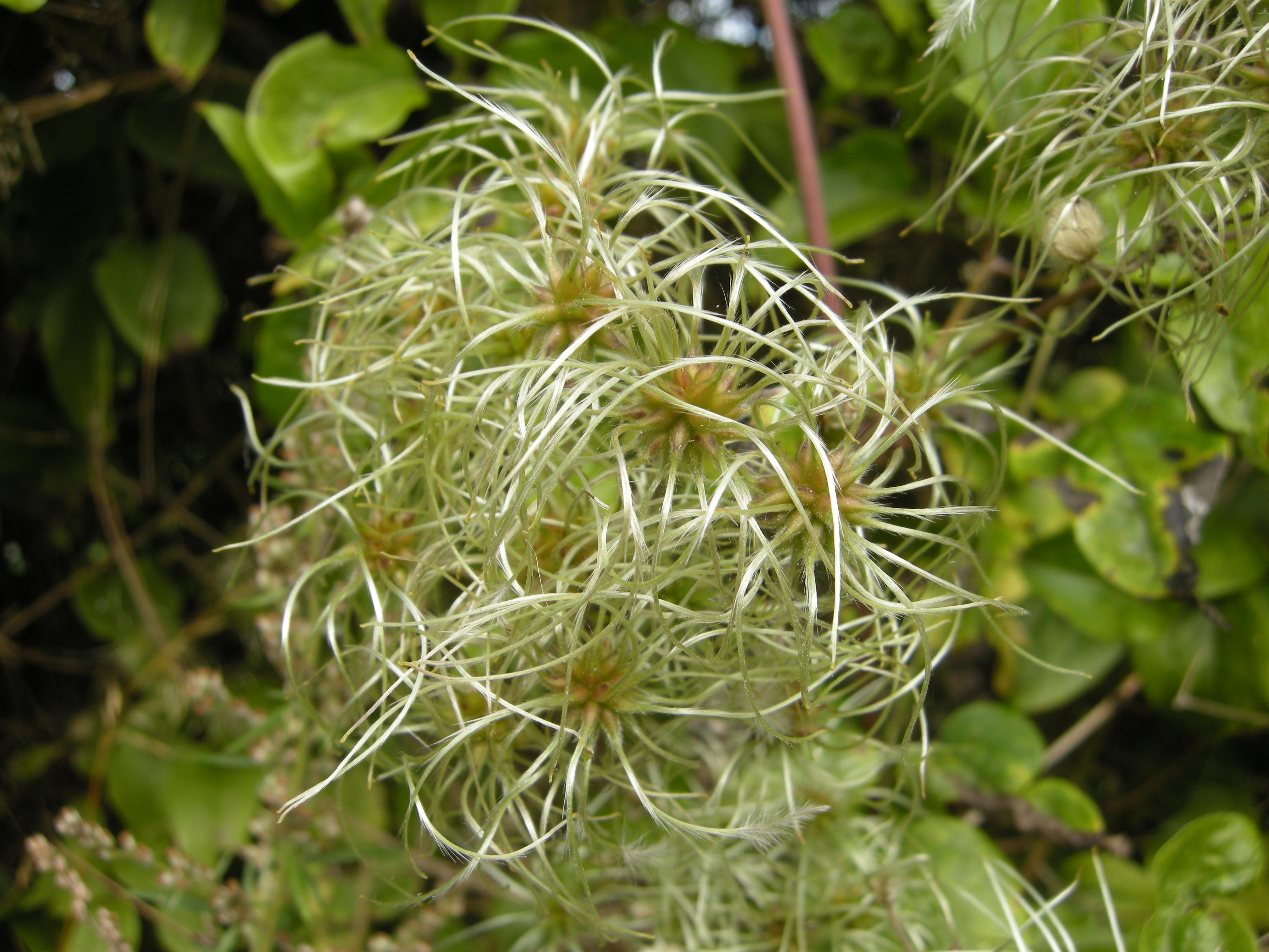 Clematis vitalba seed head (13/09/2011, Southend On Sea)