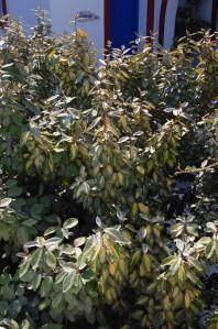 Elaeagnus pungens 'Maculata' (02/09/2011, Koufonisi, Greece)
