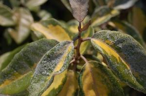 Elaeagnus pungens 'Maculata' leaf (02/09/2011, Koufonisi, Greece)
