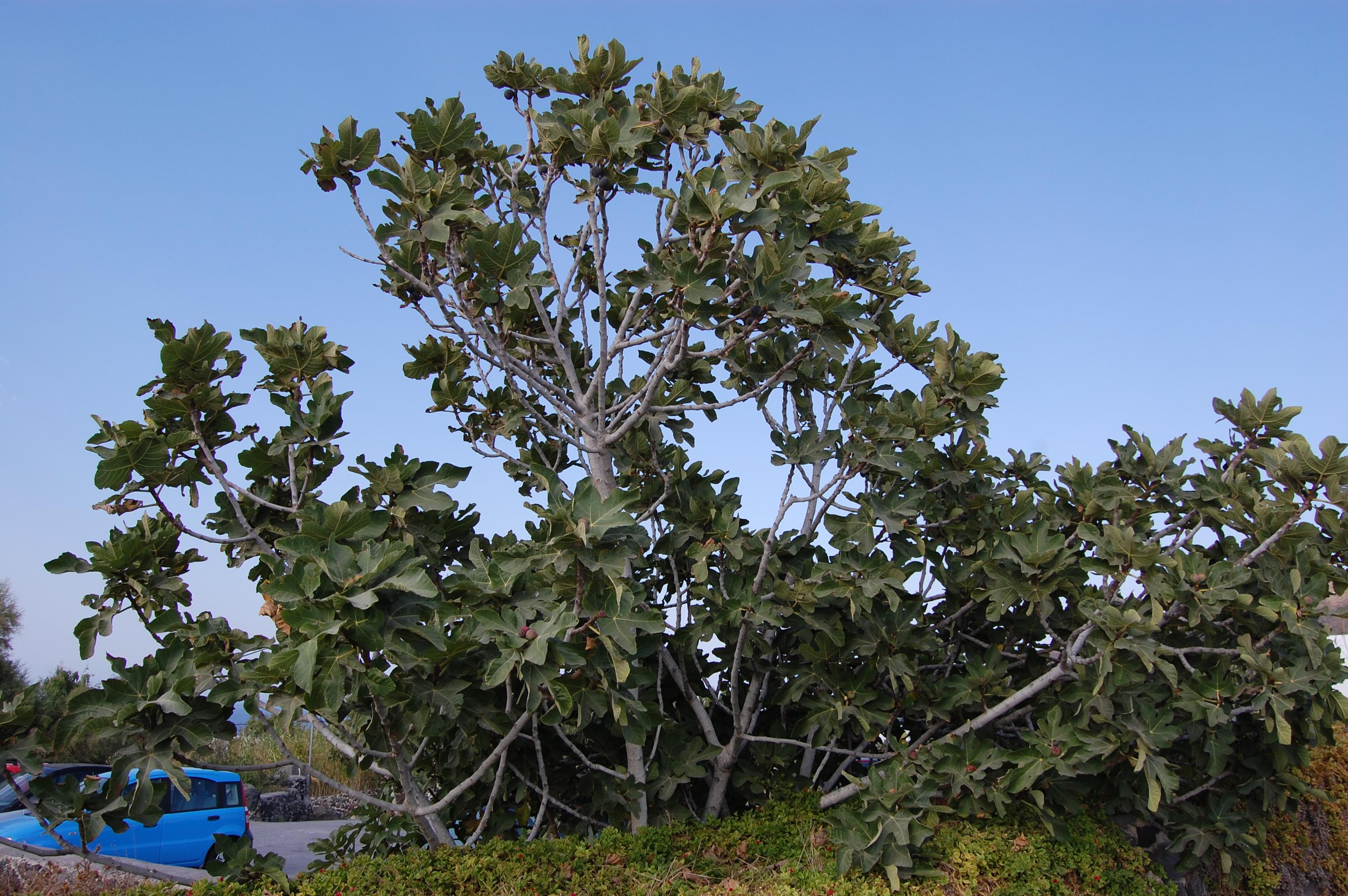Ficus Carica Landscape Architect S Pages