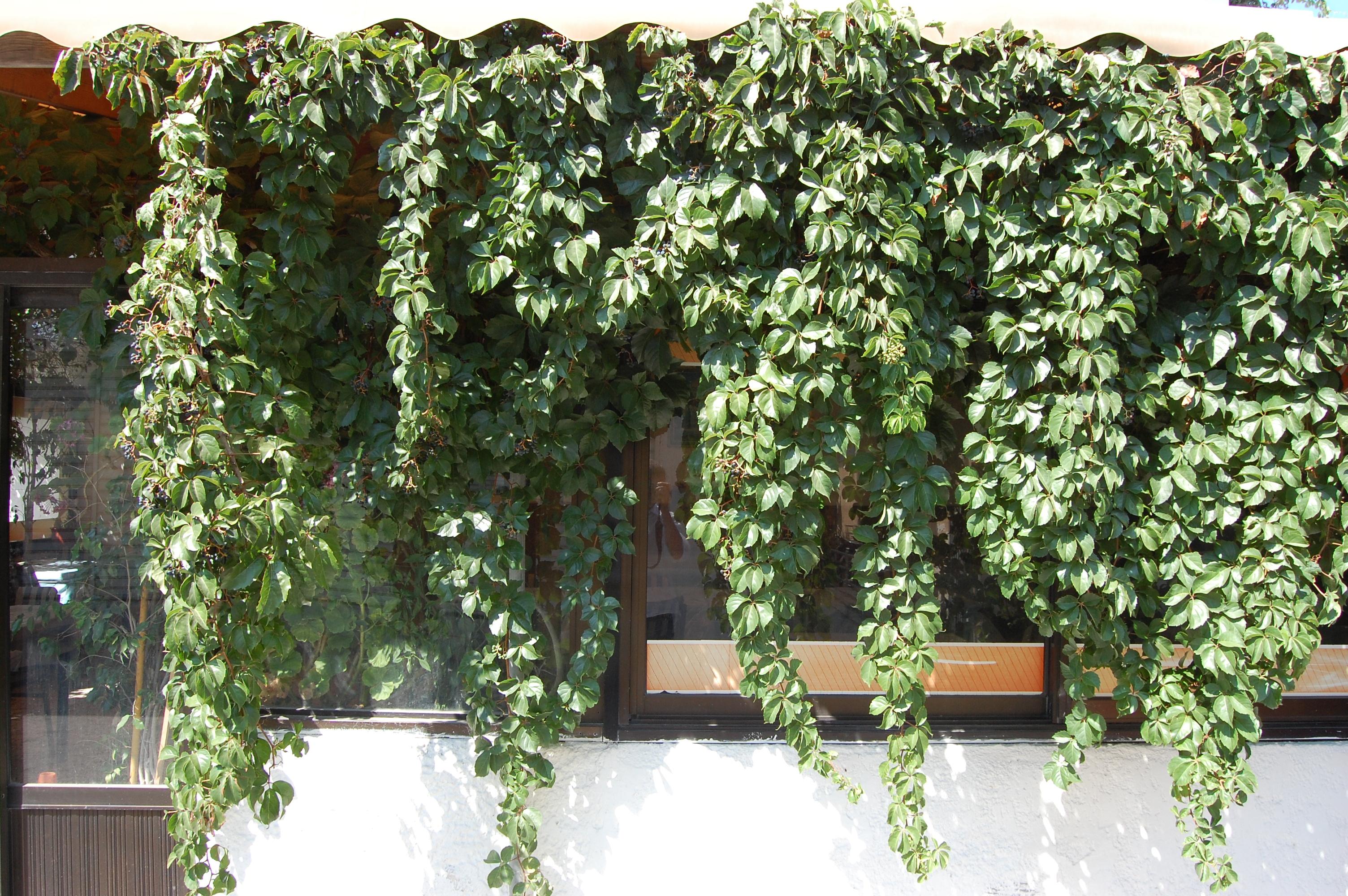 Parthenocissus Quinquefolia Landscape Architect S Pages