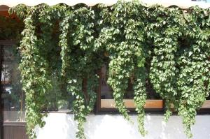 Parthenocissus quinquefolia (03/09/2011, Rhodes, Greece)