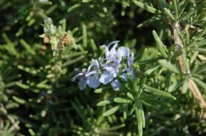 Rosmarinus officinalis 'Prostratus' flower (02/09/2011, Koufonisi, Greece)