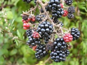 Rubus fruticosus fruit (13/09/2011, Southend On Sea)