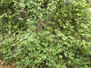 Rubus fruticosus (13/09/2011, Southend On Sea)