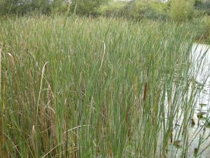 Typha latifolia (13/09/2011, Southend On Sea)