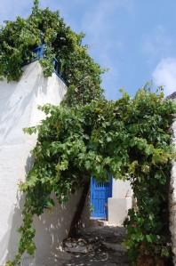 Vitis vinifera (03/09/2011, Amorgos, Greece)