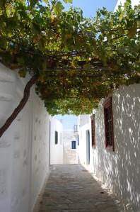Vitis vinifera shading (03/09/2011, Amorgos, Greece)