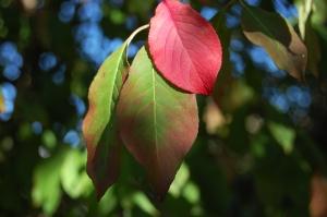 Euonymus europaeus leaf (15/10/2011, London)
