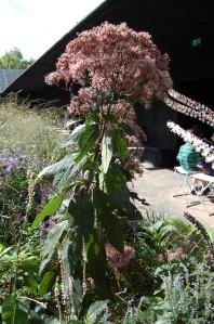 Eupatorium maculatum 'Riesenschirm' (17/09/2011, London)
