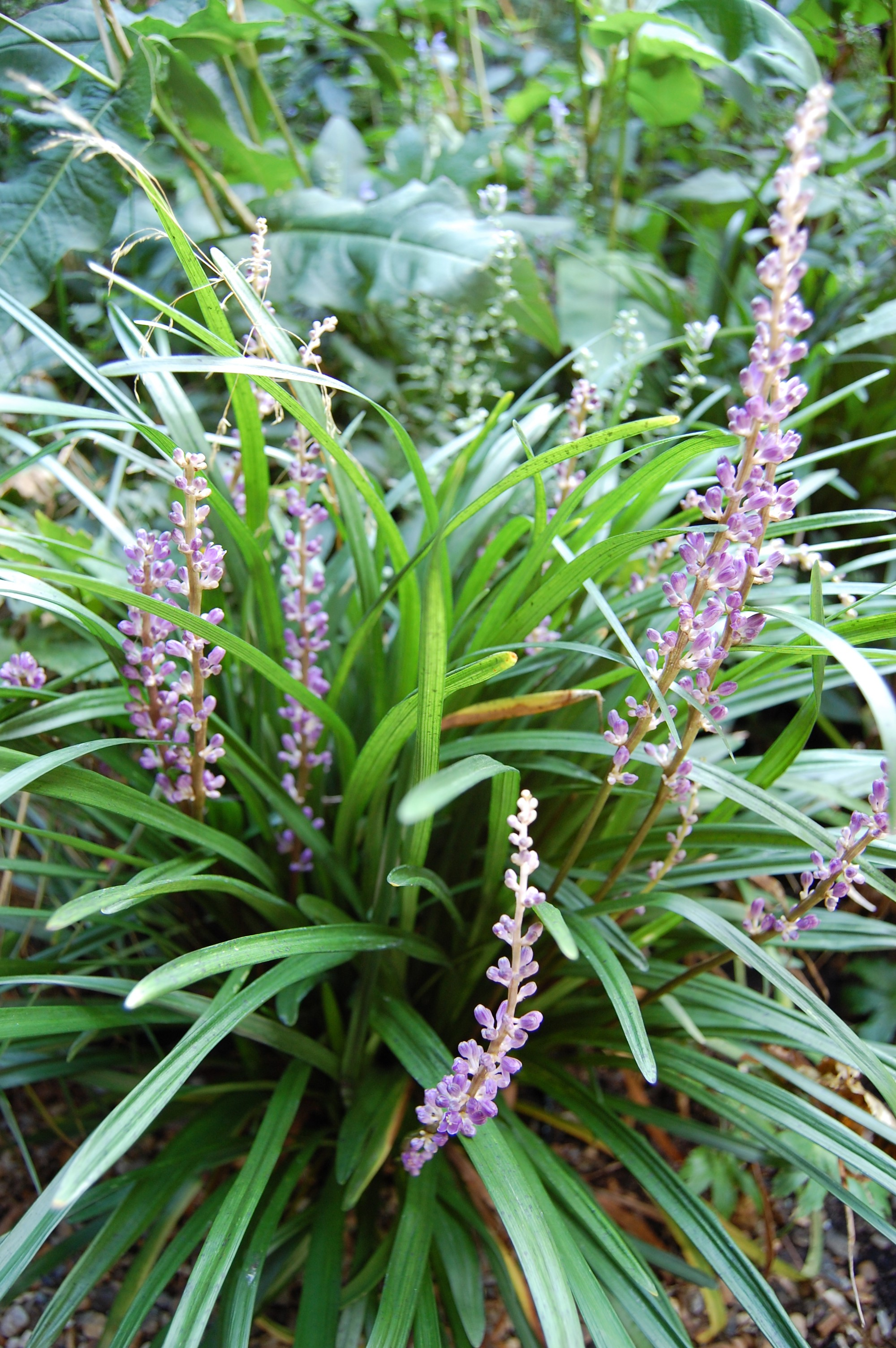 Liriope Muscari Big Blue Landscape Architects Pages