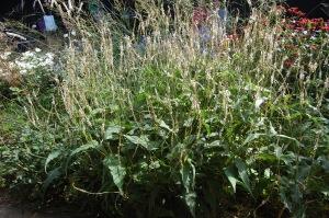 Persicaria amplexicaulis 'Alba' (17/09/2011, London)
