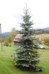 Picea pungens 'Koster' (08/10/2011, Horní Bečva, Czech)