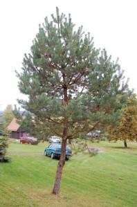 Pinus sylvestris (08/10/2011, Horní Bečva, Czech)