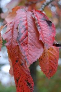 Prunus avium autumn leaf (08/10/2011, Horní Bečva, Czech)