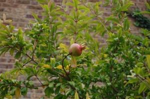 Punica granatum fruit (16/10/2011, London)