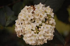 Viburnum x carlcephalum flower (16/10/2011, London)