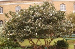 Viburnum x carlcephalum (16/10/2011, London)